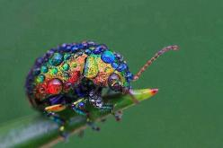 Rainbow leaf beetle: Animals, Nature, Color, Rainbow Leaf, Rainbows, Leaf Beetle, Beetles