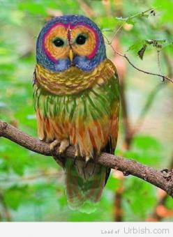 Rainbow Owl: Animals, Color, Rainbow Owl, Rainbows, Birds, Owls, Rainbowowl, Rare Species