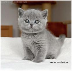 Randy!!!!  (British short hair) Solid gray cats have always been one of my most favorites!: Cats, Short Hair, Animals, Blue, Pet, Google Search, Kittens, British Shorthair