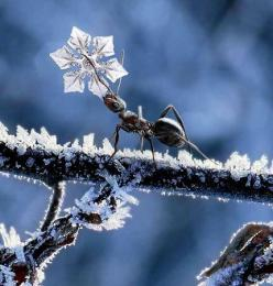 reaaally hope this is a real picture, do snowflakes look like that? wishing for snow ;): Animals, Nature, Snowflakes, Ants, Ant Snowflake, Photo