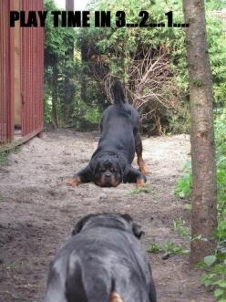 Ready, set, go...My Pit & My Husky, do this, and I get plastered against the wall, please do not take out my knees, please God!!!! :-))!!!: Rottweilers, Animals, Dogs, Plays, Rotties ️, Rotties Play, Rottweiler Playtime