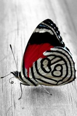 """Real - Commonly called """"Eighty-Eights"""" because of the patterns on the hindwing undersides. """"Diaethria Neglecta"""" is the scientific name and consists of a large family of Butterflies. Ranges from Mexico to Paraguay.(This particular image loo"""