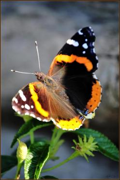 Red Admiral Butterfly -- A mutation perhaps? -- The wings on the two sides are differently colored: Beautiful Butterflies, Butterflies, Butterflies Mariposas