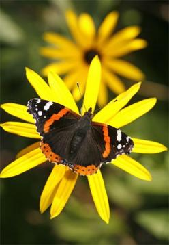 Red Admiral Butterfly & Rudbeckia Flower • photo: Brian Haslam: Beautiful Butterflies, Brian Haslam, Bee Moth Butterfly, Flower Photos, Rudbeckia Flower, Butterfly Rudbeckia