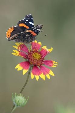 Red Admiral butterfly (Vanessa atalanta): Ahhhh Butterflies, Butterflies Birds, Art Photography, Adminiral Butterfly, Red Admiral Butterfly, Breathtaking Butterflies, Butterfly Photo, Animal