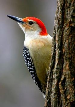Red-Bellied Woodpecker. I've been seeing a lot of these around lately. So pretty. <3: Nature, Guy, Backyard Birds, Birdwatching, Beautiful Birds, Bird Watching, Animal