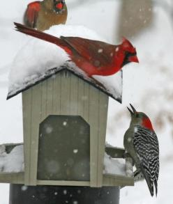 "Red-bellied Woodpecker, Male & Female Cardinal. Unusual for them to ""get along"" like this!: Birdhouses, Beautiful Birds, Bird Houses, Winter Birds, Animal, Cardinals"
