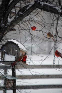 red cardinals playing in the  snow. Christmas is on its way.: Winter Scene, Feathered Friend, Beautiful, Snow, Winter Wonderland, Favorite Bird, Red Birds, Cardinals