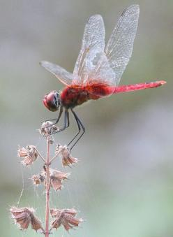 Red dragonfly from Kerala, India.  Photo by Gary Tree: Animals, Make It Easier To, Dragon-Fly, Red Dragonfly, Dragonflies