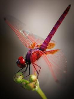 **red dragonfly they lay eggs in our ponds and we get heligomights.: Bugs, Beautiful, Beauty, Red Dragonfly, Photo, Birds, Dragonflies