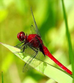 red dragonfly, We all living beings are made of the same energy and substance either mater or antimatter, therefore we have to respect life in all its disguises, don't support animal killing for meat and pollution, go vegan and green for all, NinaOhma
