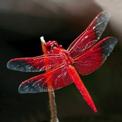 red dragonfly ~~ we get a ton of these every summer!  Beautiful!: Butterflies Dragonflies, Yard, Color, Beautiful, Red Dragonfly, Animal
