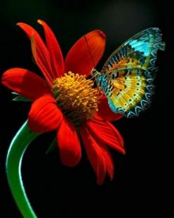 Red Flower & Butterfly Close-Up: Beautiful Butterflies, Red Flower, Nature, Color, Flowers, Photo, Animal