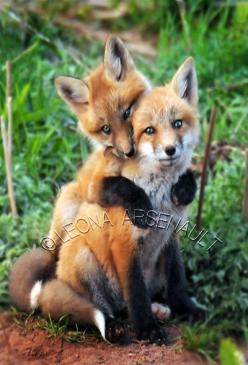 Red Foxes by Prince Edward Island Photographer Leona Arsenault: Fox, Sibling, Pet, Baby Photographer, Baby Foxes, Animal Foxes, Red Fox