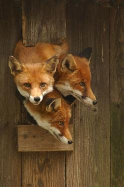 Red Foxes: Three Fox, Animals, Nature, Three Red, Red Foxes