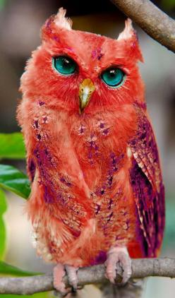 Red owl. According to Wikipedia, the Red Owl is mainly in Madgascar. Is considered Vulnerable.: Red Owl, Colorful Owl, Red Animal, Madagascar Red, Owl Photo, Owls, Real Owl
