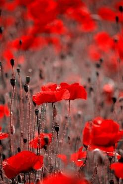 Red Poppies: Colour, Color Red, Red Poppies, Red Flowers, Poppy, Garden, Poppy Flowers, Poppies Beautiful