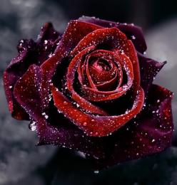 Red Rose. Nature Photography.: Rose Flowers, Winter, Nature, Flora, Red Roses, Beautiful Flowers, Beauty, Things, Garden