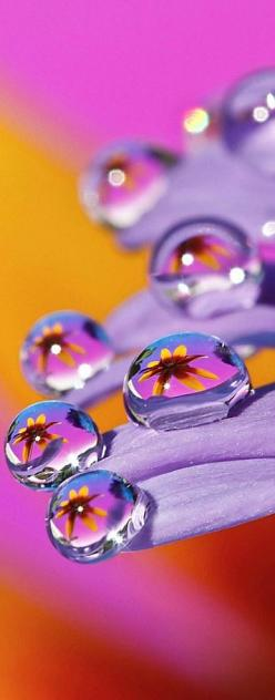 Refracting image of a daisy thru a water drop: Macro, Water Drops, Dew Drop, Drops, Dewdrops, Rain Drops, Beautiful Waterdrops, Purple Flower
