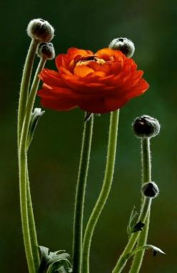 Remain in me, and I will remain in you.  For a branch cannot produce fruit if it is severed from the vine, and you cannot be fruitful apart from me.  John 15:4: Ranunculus, Red Flower, Color, Beautiful Flowers, Flowers, Photo, Garden, Favorite Flower