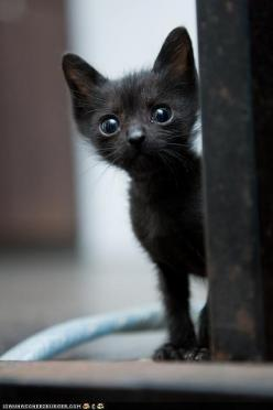 Reminds me of my Figgy   ...........click here to find out more     http://googydog.com: Animals, Sweet, Black Cats, Pet, Kittens, Baby, Kitty, Blackcat