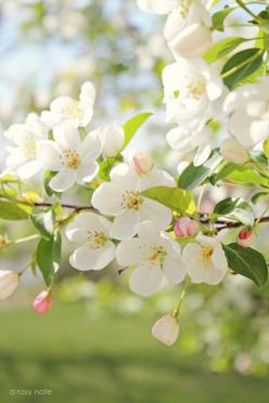 Reminds me of the beautiful apple trees in my childhood back yard.: Spring Blossom, Beautiful, Flowers, Apple Blossoms, Garden, Rosy Note