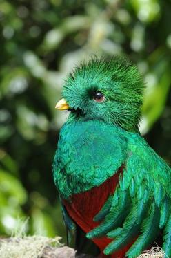 Resplendent Quetzal with iridescent Peacock-feather-colors: Color, Guatemala, Beautiful Birds, Resplendent Quetzal, Animal