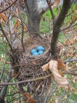 Robin's nest with eggs in a tree - we had these in our trees this year.  So pretty.: Robin Eggs, Birds Nests, Birdsnests, Bird Nests, Bird S Nests, Robins Egg