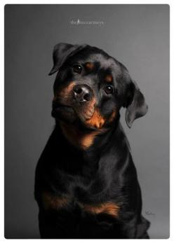 Rottweiler puppy.: Rottweilers, Animals, Dogs, Pets, Dog Breeds, Friend