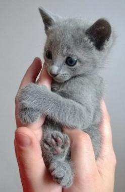 Russian Blue kitten. Sweet!: Cats, Russian Blue Kitten, Kitty Cat, Grey Kitten, Gray Cat, Cute Cat, Kittens, Animal, Russian Blue Cat