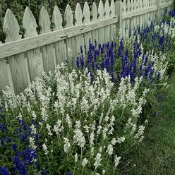 Salvias, also called sages, are some of the most versatile plants around. Most varieties are wonderfully drought tolerant and feature beautiful flowers with pleasantly scented, attractive foliage. Plus, deer, bunnies, and other garden pests typically igno