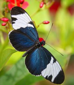 Sapho Longwing butterfly  by Saija Lehtonen: Beautiful Butterflies, Longwing Butterfly, Animals, Nature, Birds Butterflies Insects, Bugs Insects