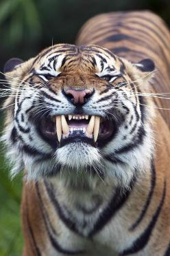 say cheese! Tigers have only 30 teeth. All cats have temporary teeth that come in within a week or two after birth, referred to as milk teeth similar to humans' baby teeth.  Tigers have the largest canines of all big cat species ranging in size from 2