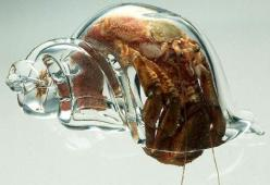 Scientists at the New Zealand Marine Studies Centre placed glass shells into a hermit crab tank. The crabs moved into the glass shells shortly after, allowing scientists to study the crabs.: Glass Shells, Animals, Stuff, Glasses, Hermitcrabs, Glass Hermit