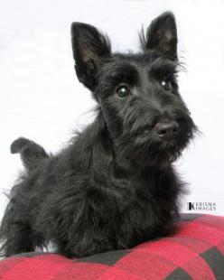 Scottish Terrier puppy dog: Animals, Scottie Dogs, Pets, Puppys, Scottie Puppy, Scottish Terriers