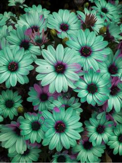 Seafoam Daisies - i want these for my front yard...: Color, Wedding, Front Yard, Pretty Flowers, Daisy, Beautiful Flowers, Flowers Garden, Seafoam Daisies, Favorite Flower