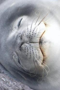 Seal This is a very nice photo. Check out the curls on the end of its whiskers.: Sleeping Seal, Seals, Oceanlife Mammals, Adorable Animals, Beautiful Beasts, Amazing Animals, Baby Sea Animals, Baby Seal
