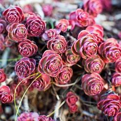 Sedum spurium 'Voodoo'    Small, rounded burgundy leaves cover this low-​growing, quick-spreading succulent from the Caucasus. Tiny reddish flowers bloom in summer. Zones 1–10 and 14–24.: Flowers Bloom, Drought Tolerant Plants, Sedum, Leaves Cover