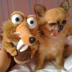 Seriously funny animal pics. The best is the guy taking a Christmas picture with his dog and... a doll. A random doll.: Funny Animals, Funny Dogs, Pet, Funny Stuff, Funnies, Humor, Chihuahua