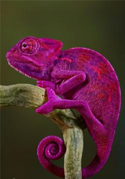 SEXY.........that's what my husband says!  It's funny! I like it!: Animals, Chameleons, Purple, Nature, Creature, Colors, Reptile, Pink Chameleon