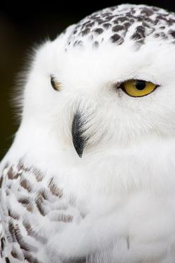 shared via nutiva.com - #beautiful #owl - imagine how it would look in the snow!: Animals, Owl Photo, White Owls, Snowy Owls, Snow Owl, Beautiful Snowy, Birds