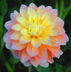 "She is so beautiful!  A must have for my dahlia collection this spring! (Swan Lake Dahlias--""Peaches and Dreams""): Swan Island, Idea, Dreams Dahlia, Beautiful Flowers, Island Dahlias, Peaches, Garden, Peach Flowers, Dahlia Peach"