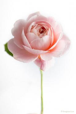 Simply beautiful | Pastel pink rose.: Still Life Photography Flowers, Pink Roses, David Austin Roses, Floral Photography, Fine Art, Flower Photography