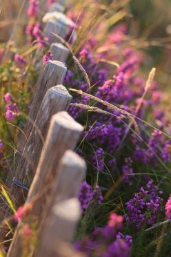 Sin título | Flickr: Intercambio de fotos: Purple, Nature, Country Fence, Beautiful, Country Life, Flowers, Photo, Garden