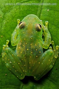 **Slope-snouted Glass Frog (Cochranella euknemos), a beautiful uncommon glass frog of Costa Rica, Panama, and N Colombia. Central Panama.: Slope Snouted Glass, Cochranella Euknemos, Frogs, Reptiles Amphibians, Photo, Animal