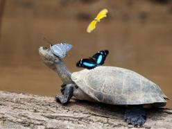 Smart little turtle, using living jewels to beautify her appearance: Animals, Friends, Butterflies, Beautiful, Creatures, Turtles, Funny Animal, Things, Reptile