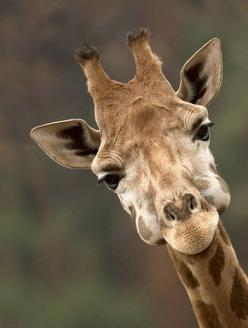 {smiles}: Face, Animals, Creature, Funny, Things, Smile, Photo, Giraffes