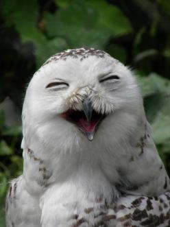 Smiling at Diergaarde Blijdorp Zoo in Rotterdam, Netherland • photo: marjol3in1977 on deviantart: Animals, So Happy, Happy Owl, Laughing Owl, Smile, Birds, Owls