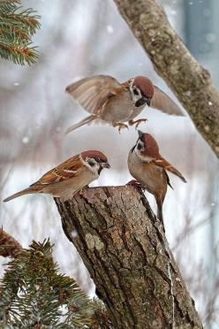 Snow birds: Animals, Winter Sparrow, Nature, Poultry, Little Birds, Tree Sparrows, Beautiful Birds