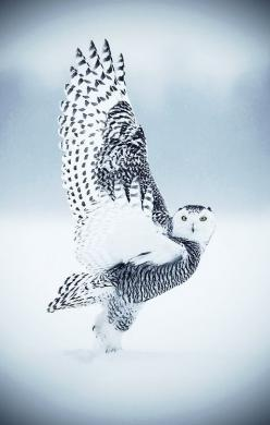 Snow owl visit http://www.reservationresources.com/: C Snow Owl, Beautiful Photo, Owl Animals, Beautiful Animal, Birds Owls, Beautiful Birds, Country Kitchens, Snowy Owl, White Owl